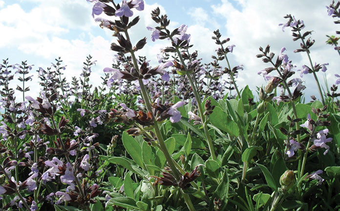 A Monograph On Salvia Officinalis